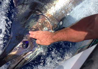 Fishing of the Marlin in Gran Canaria