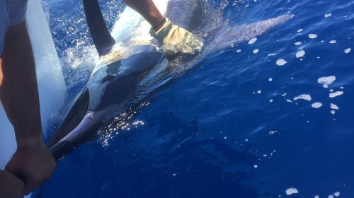 Fishing Blue Marlin Gran Canaria