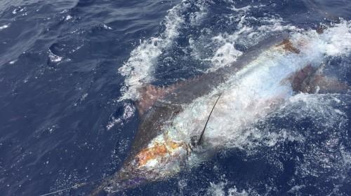Blue marlin 350kg!🎣 20/01/2017