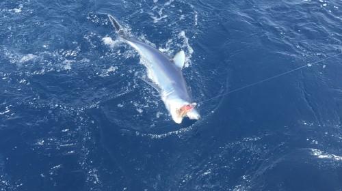 Mako sharks!!🎣